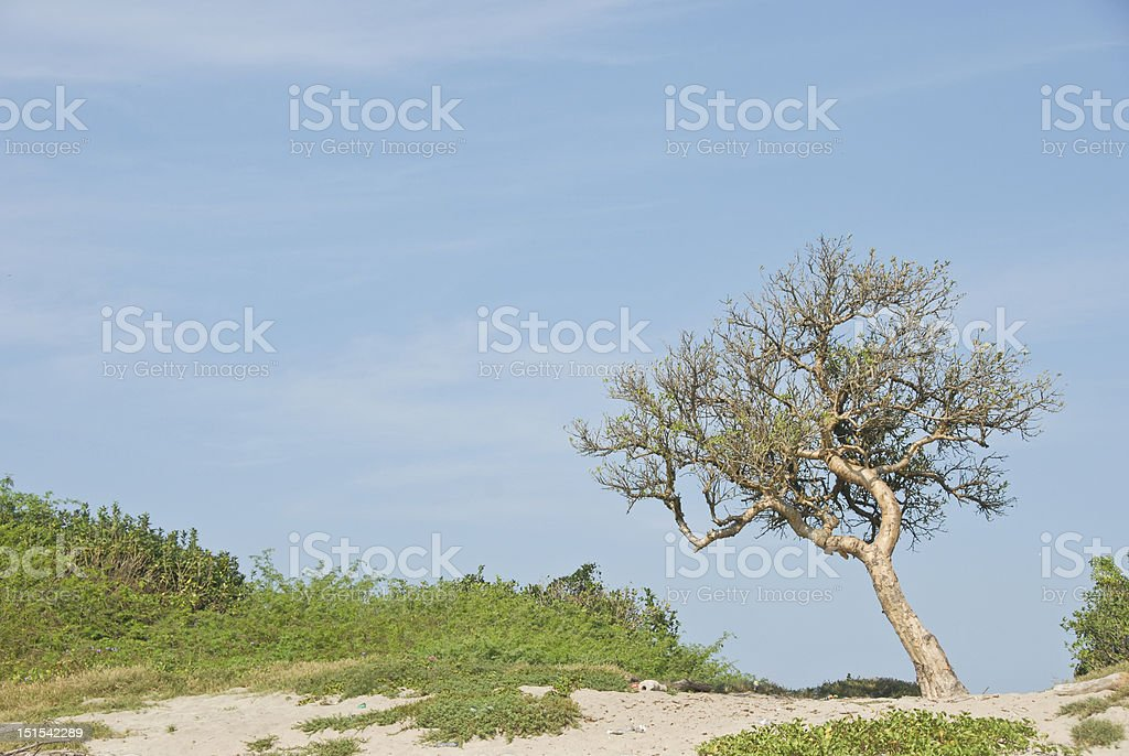 Tree on the beach in Mexico royalty-free stock photo