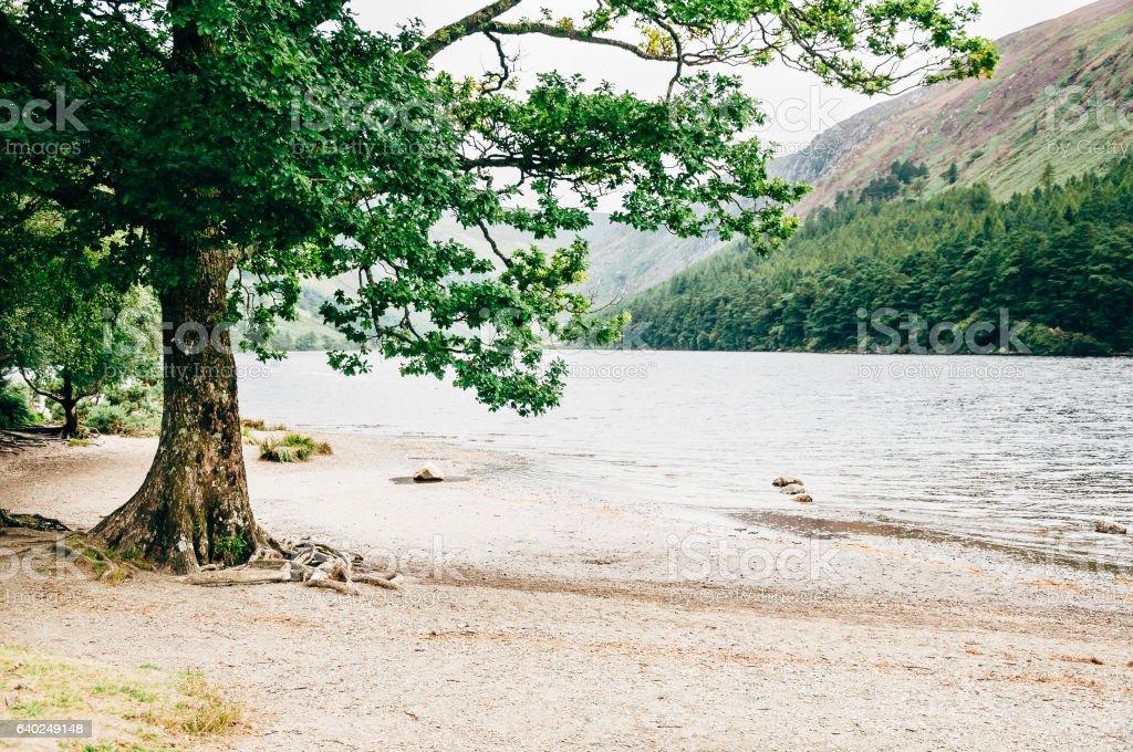 Tree on the shore of the Upper Lake, Glendalough, Ireland stock photo