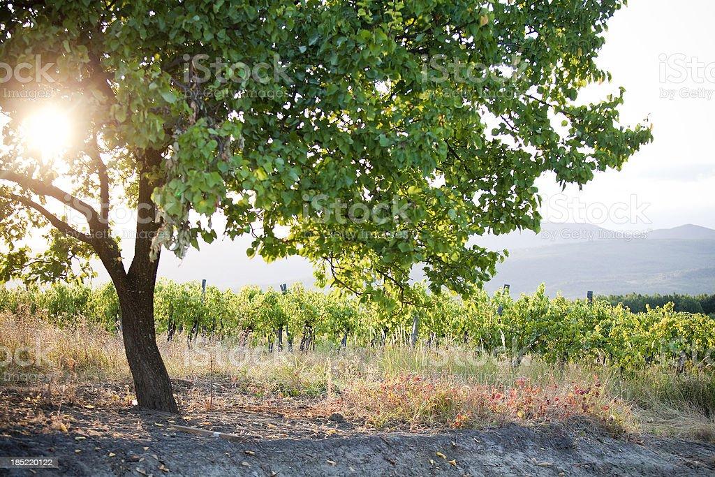 Tree on the vineyard stock photo