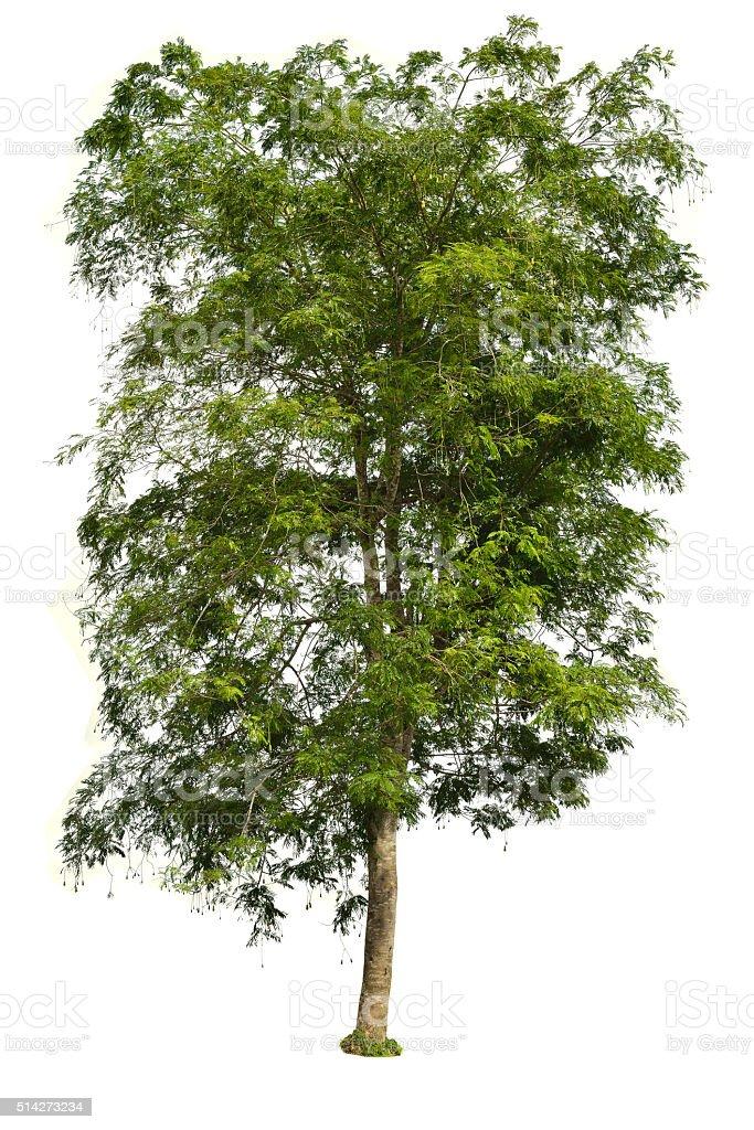 Tree on white background Parkia tree stock photo
