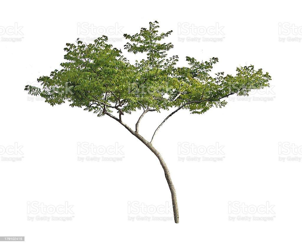 Tree on white background royalty-free stock photo