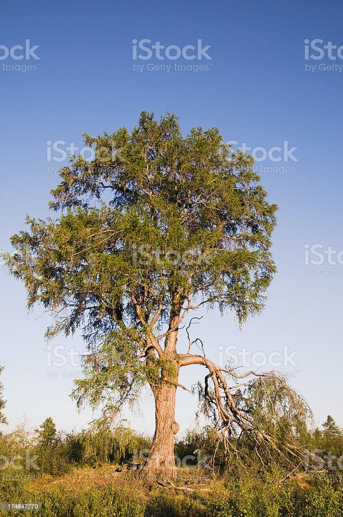 Tree. royalty-free stock photo