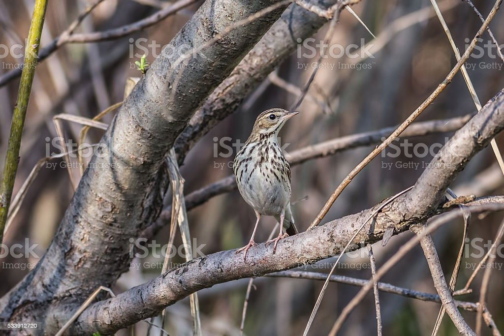 Tree pipit, Anthus trivialis stock photo