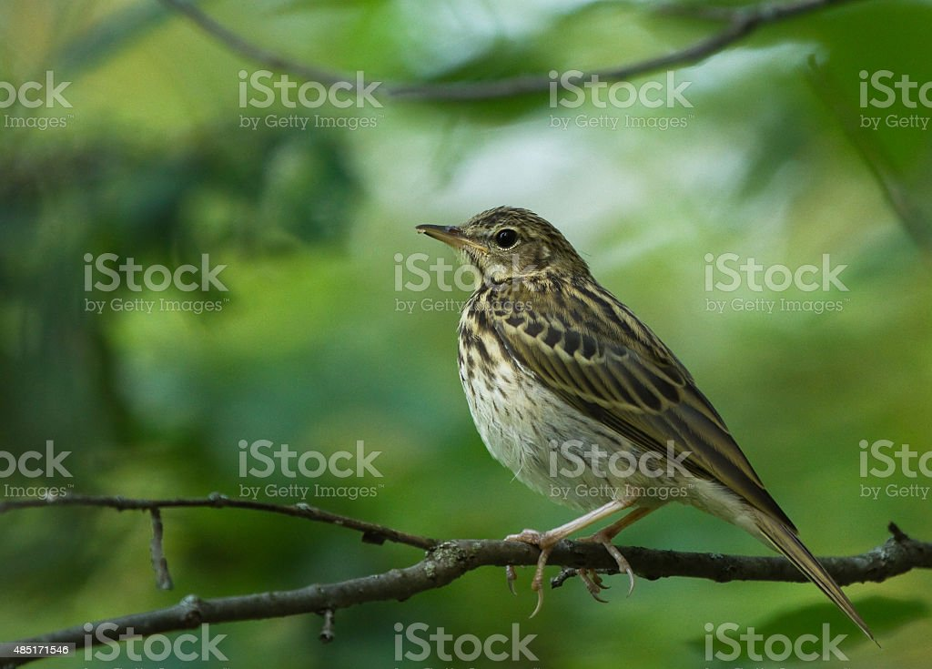 Tree Pipit on the branch stock photo