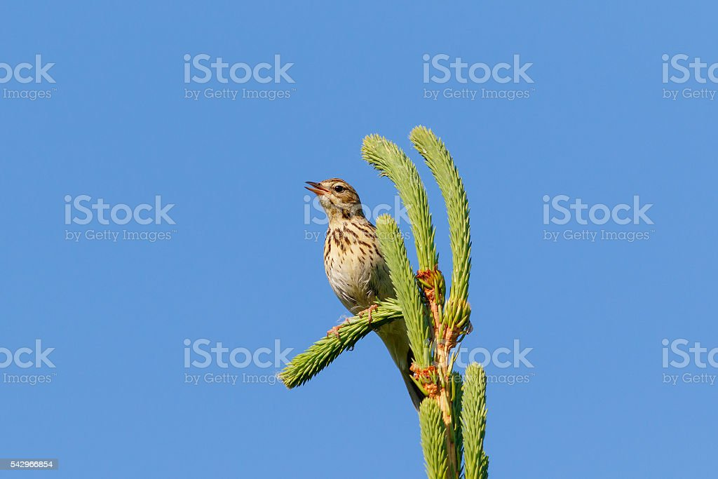 Tree Pipit on the fir-tree stock photo