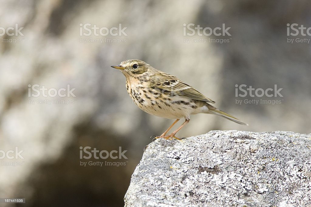 Tree Pipit (Anthus trivialis) stock photo
