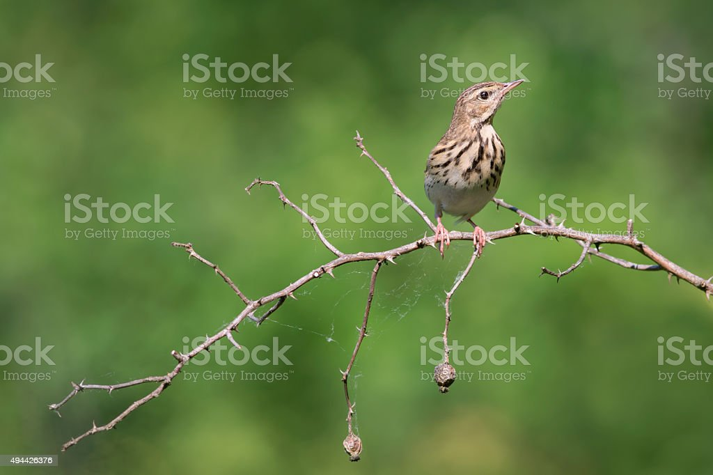 Tree pipit stock photo