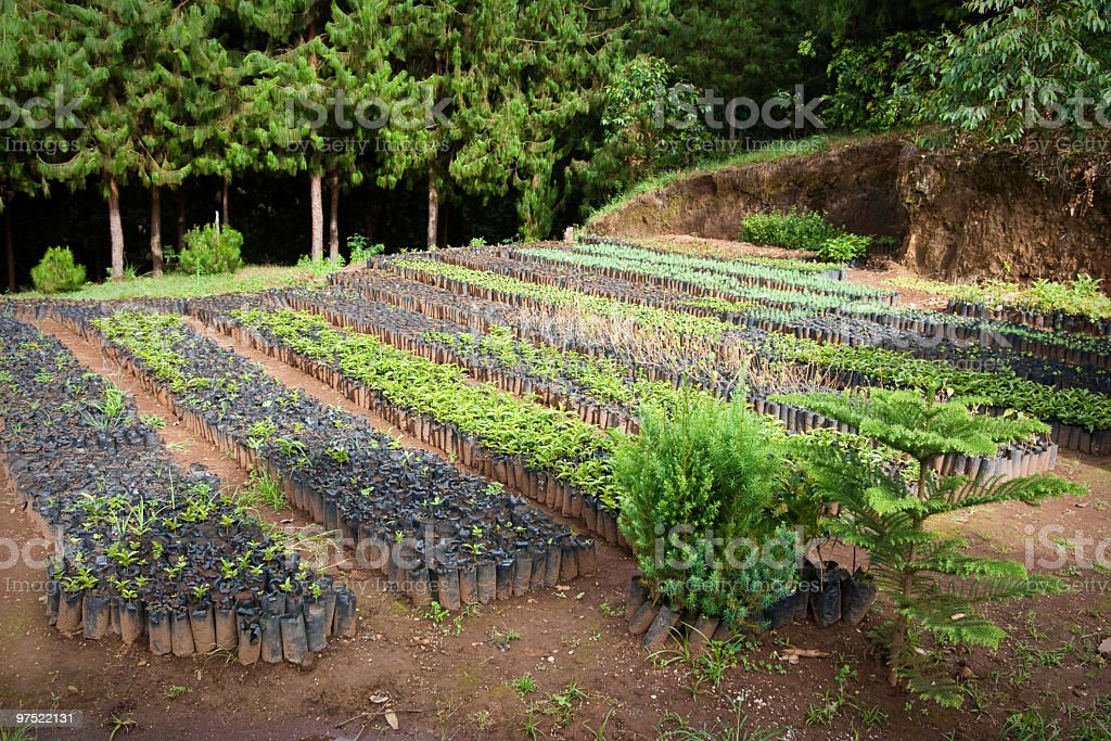 Tree Plantation in Africa stock photo