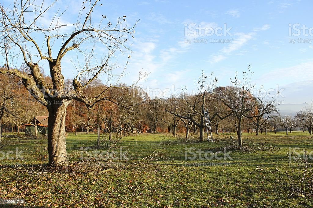 Tree Pruning royalty-free stock photo