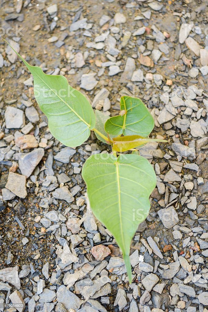 Ficus religiosa tree stock photo