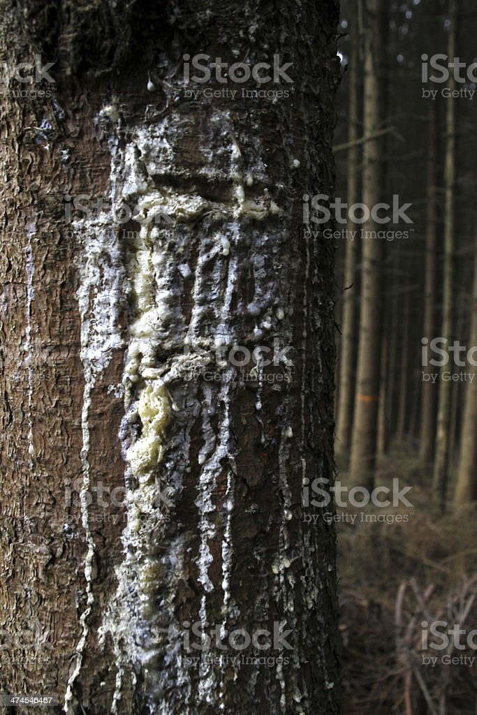 Tree resin on a spruce stock photo