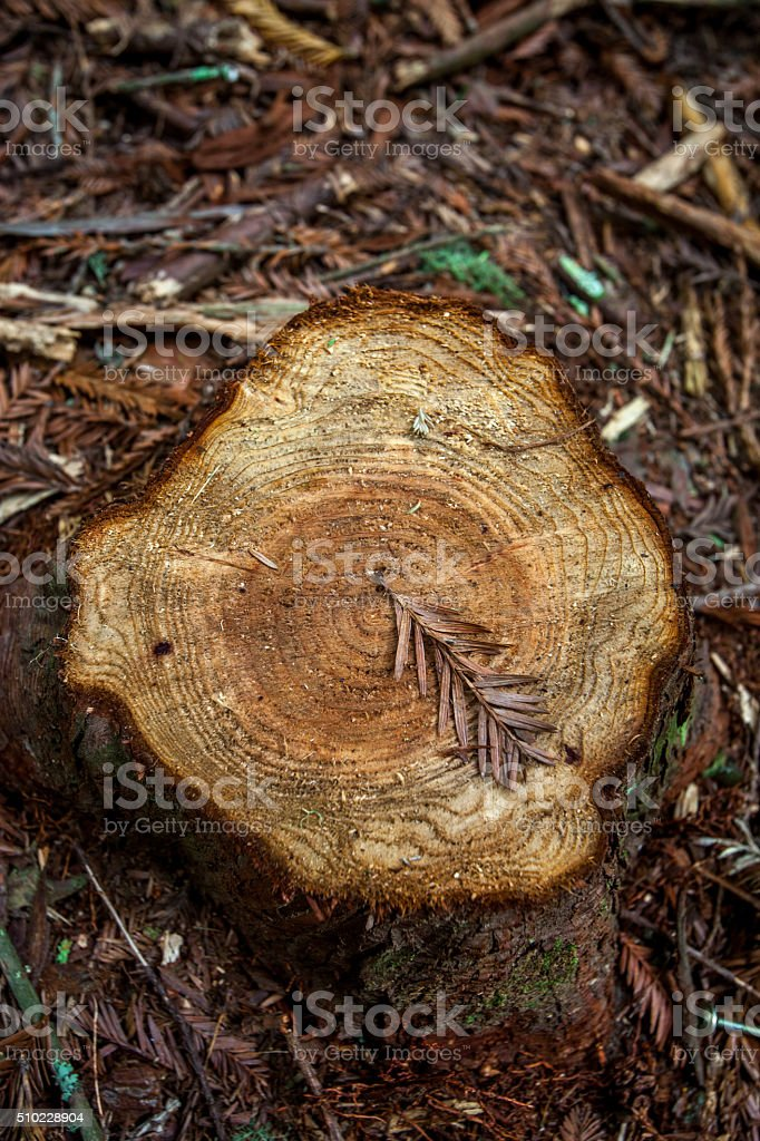 Tree Ring Showing on a Clean Cut Tree Stump stock photo