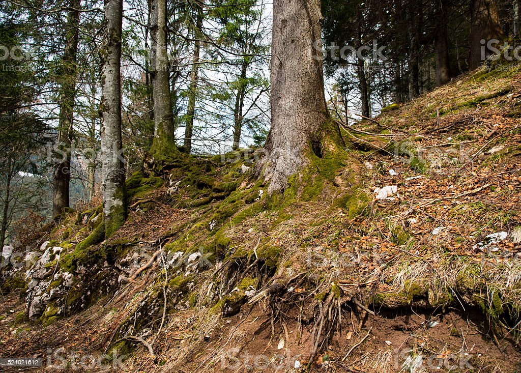 Tree root in the forest stock photo