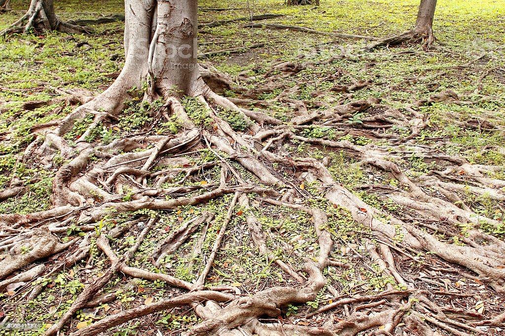 tree root stock photo