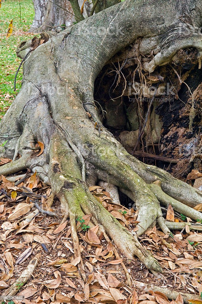 Tree root, symbol of security and solidity stock photo