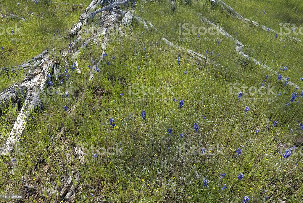 Tree Roots and Lupine royalty-free stock photo