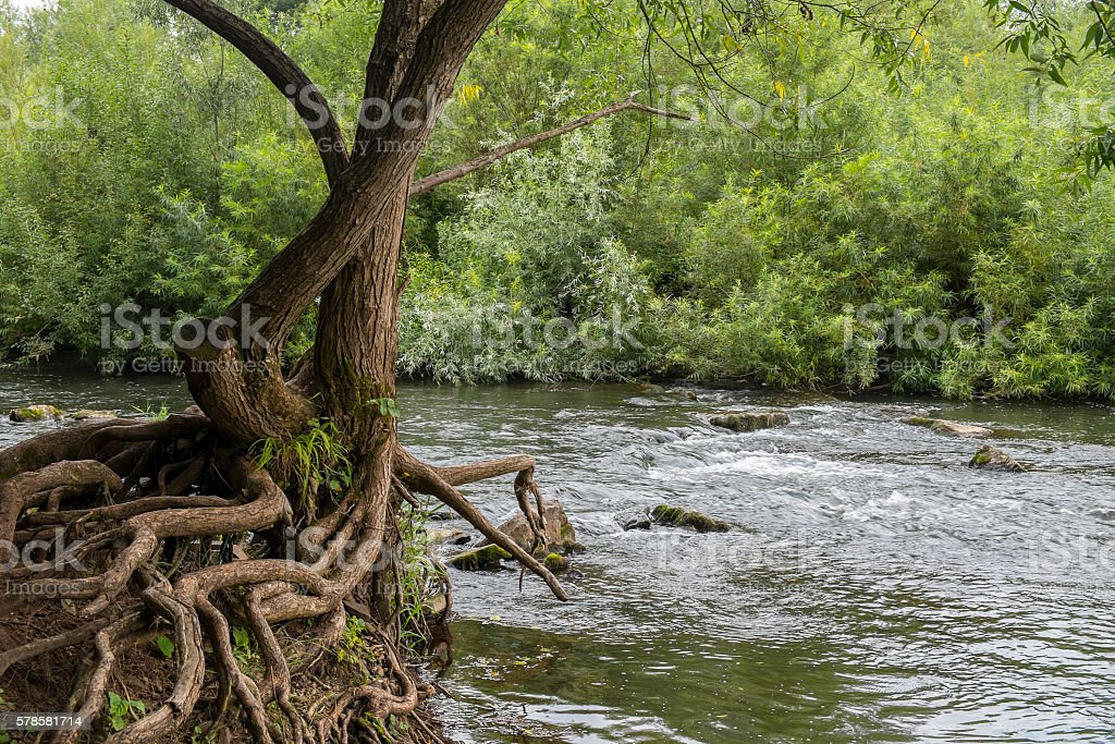 Tree Roots and River Rapids royalty-free stock photo