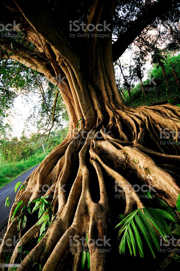 Tree Roots at Lake Arenal, Costa Rica stock photo