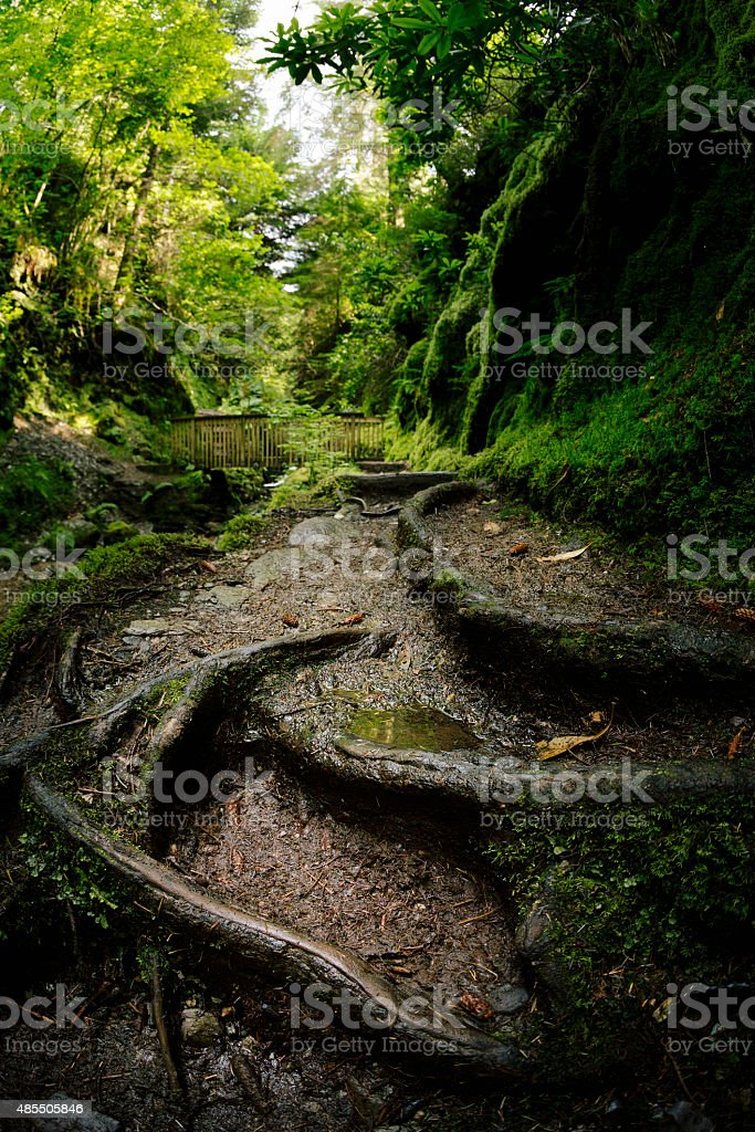 Tree roots by a river through a green Scottish forest stock photo