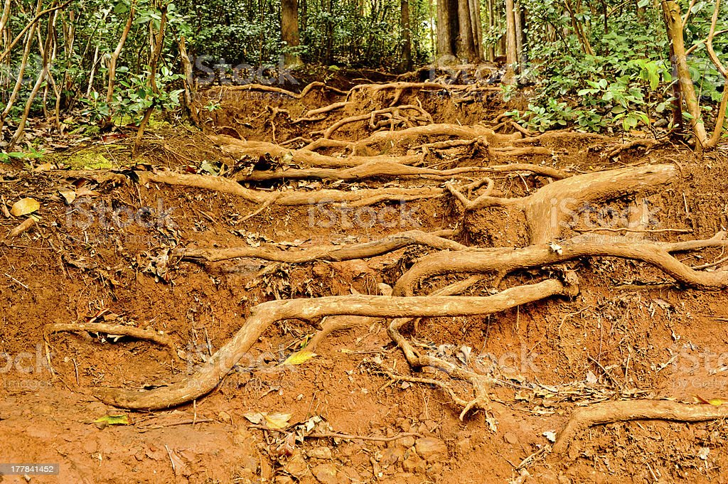 Tree roots cover the forrest floor stock photo