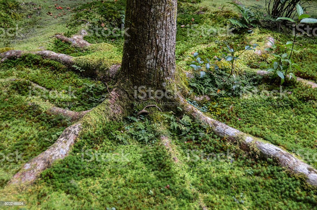 Tree roots covered in moss stock photo