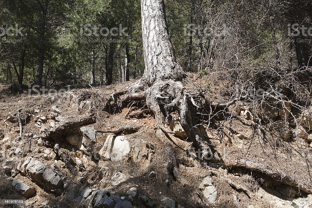 Tree roots exposed due to soil erosion royalty-free stock photo