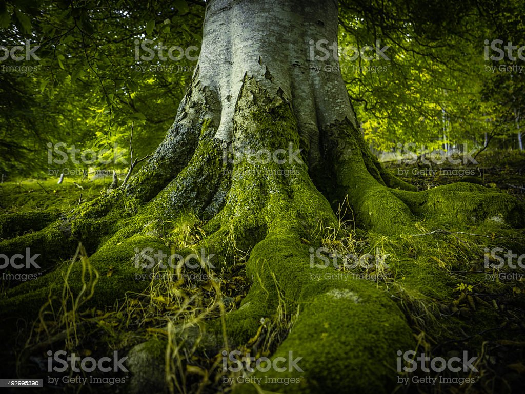 Tree Roots In A Forest stock photo