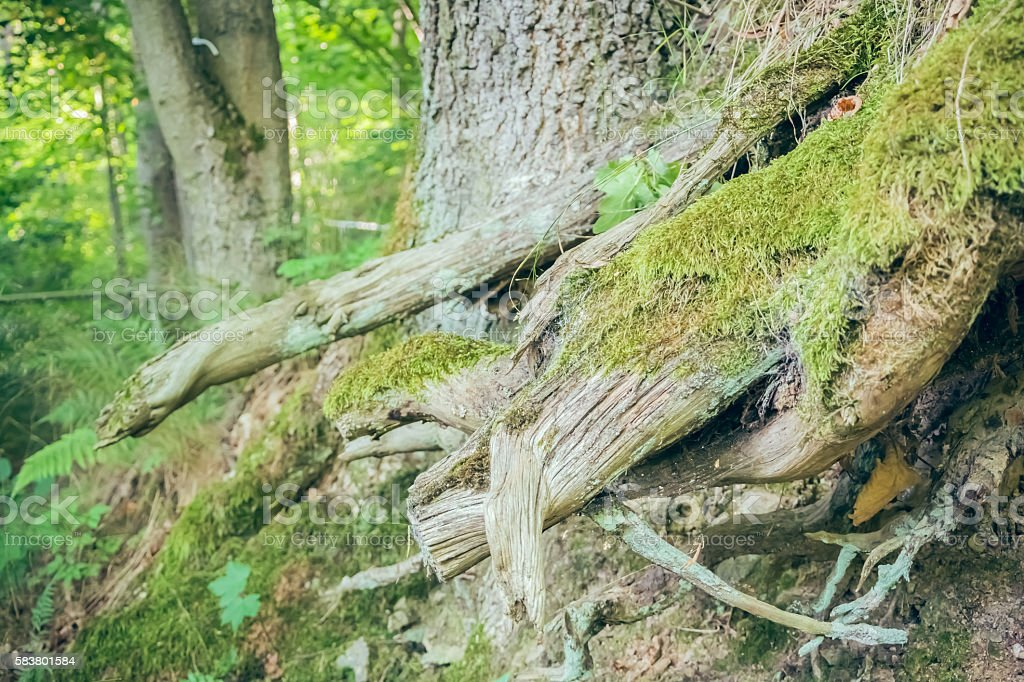 Tree roots in forest stock photo