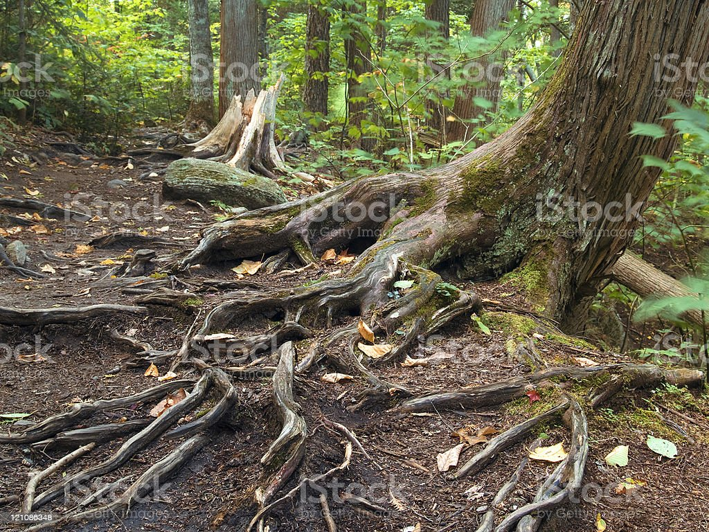Tree roots exposed on a hiking path in Algonquin Park, Ontario.