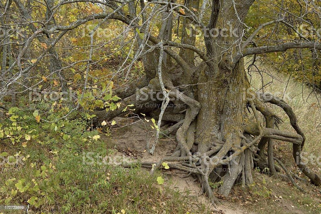 Tree Roots royalty-free stock photo