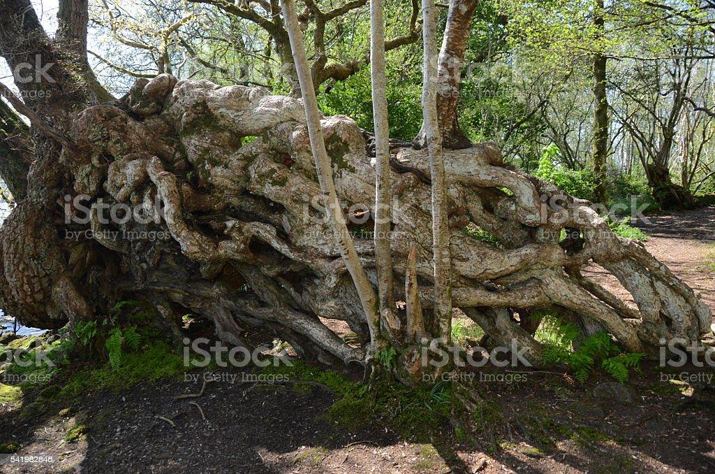 Tree Roots stock photo