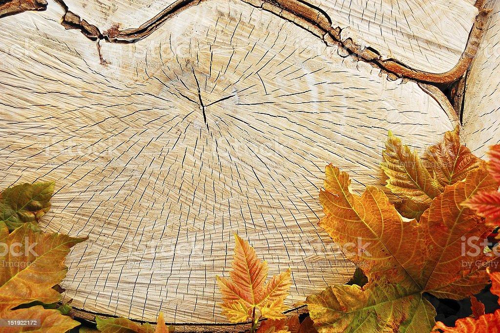 Tree sawn end royalty-free stock photo