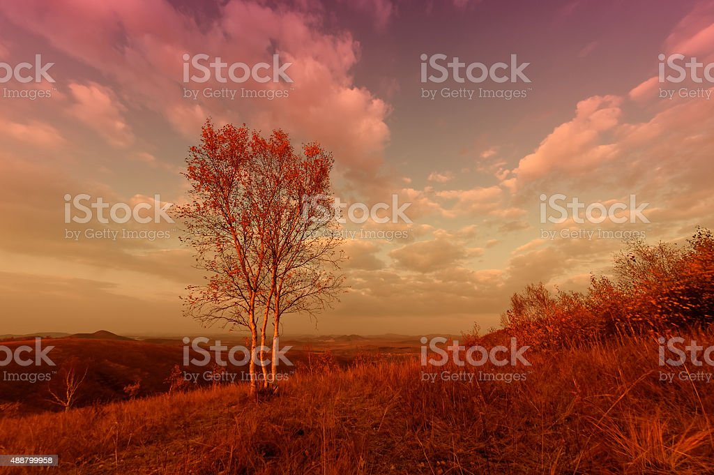 Tree scenic in bashang grassland stock photo