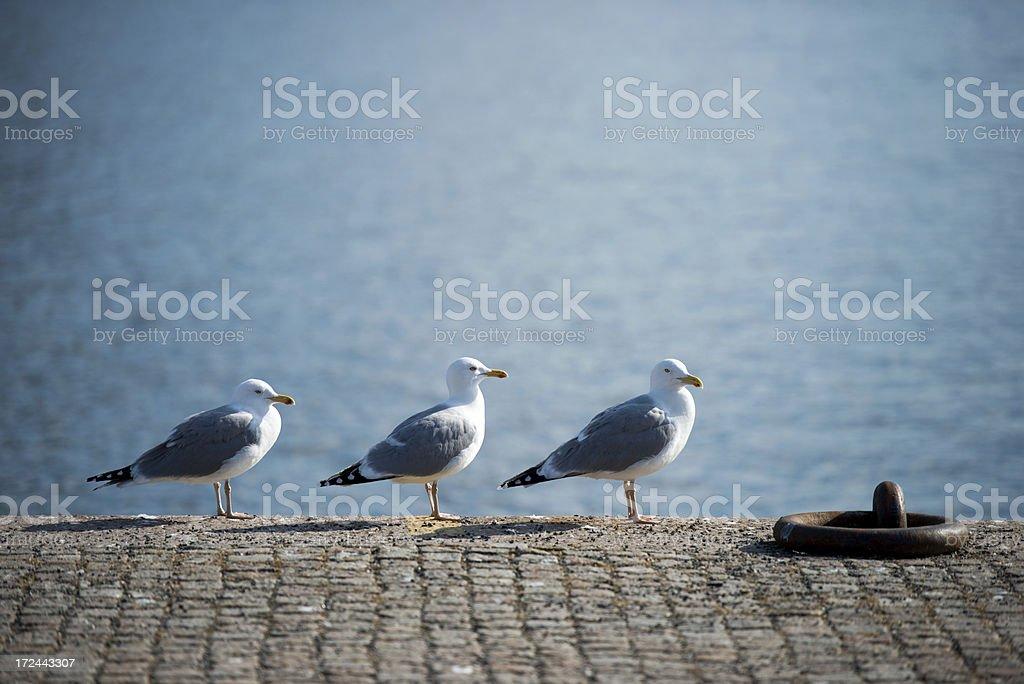 Tree seagull on the bridge. royalty-free stock photo