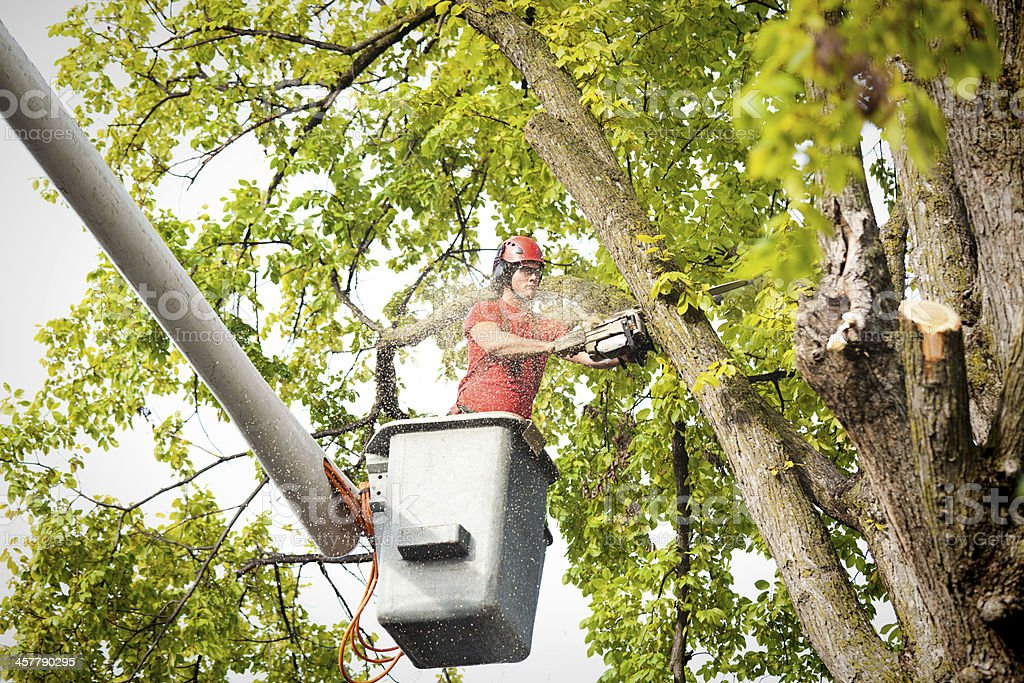 Tree Service Arborist Pruning, Trimming, Cutting Diseased Branches with Chainsaw stock photo
