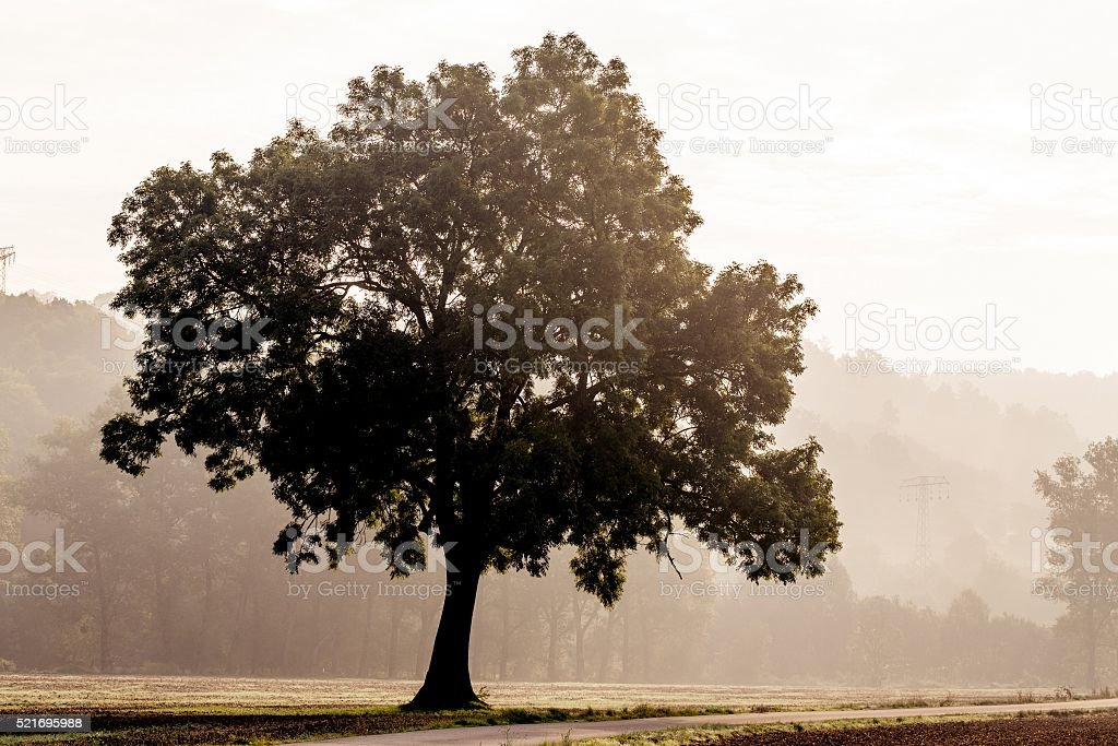 Tree silhouette in foggy morning stock photo