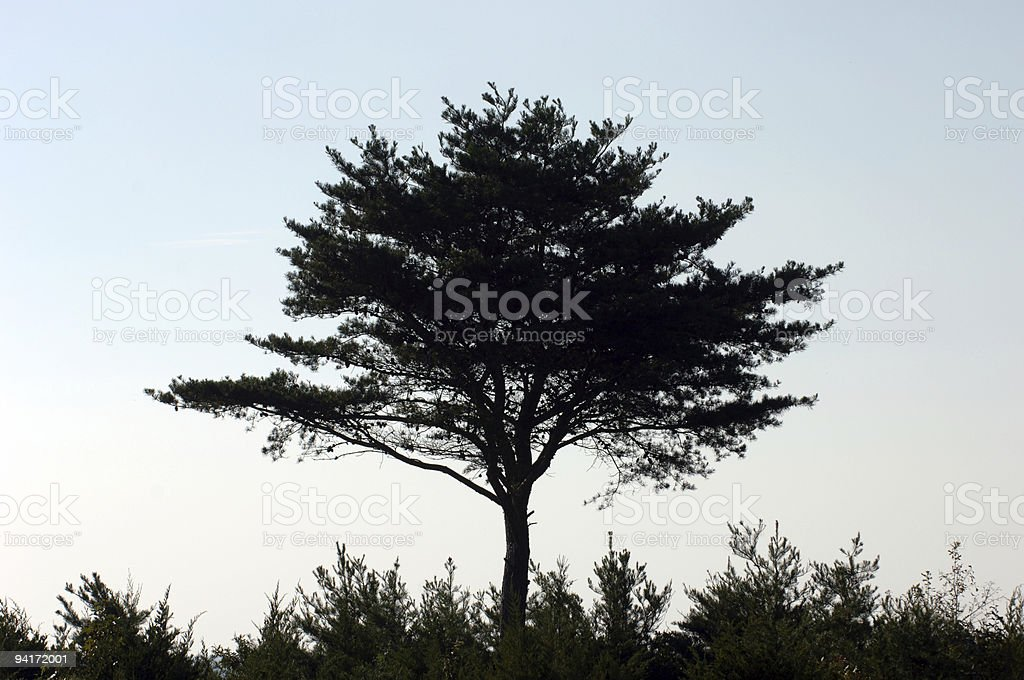 Tree silouhette (color) royalty-free stock photo