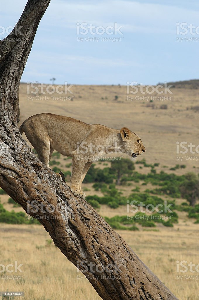 Tree sitting lioness stock photo