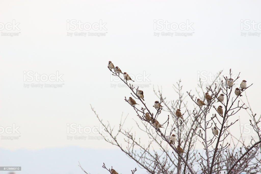 Tree sparrow, Number 1 stock photo