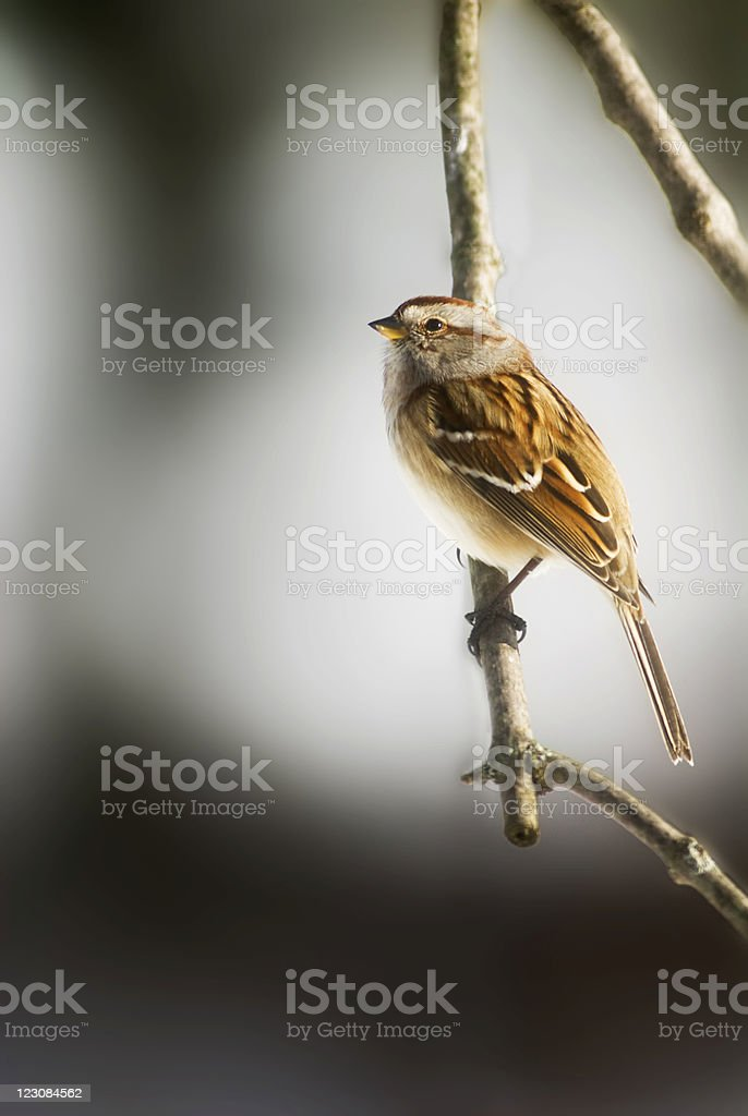 Tree Sparrow on Limb royalty-free stock photo