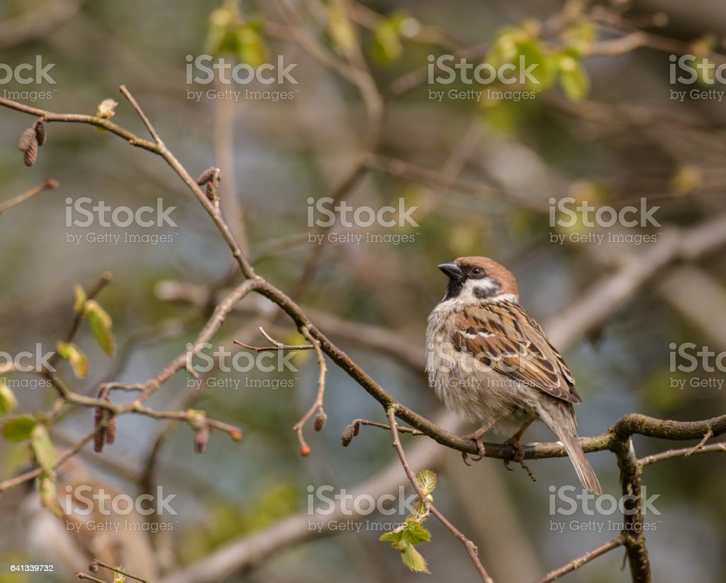 Tree sparrow - Passer montanus - sitting on branch with spring buds stock photo