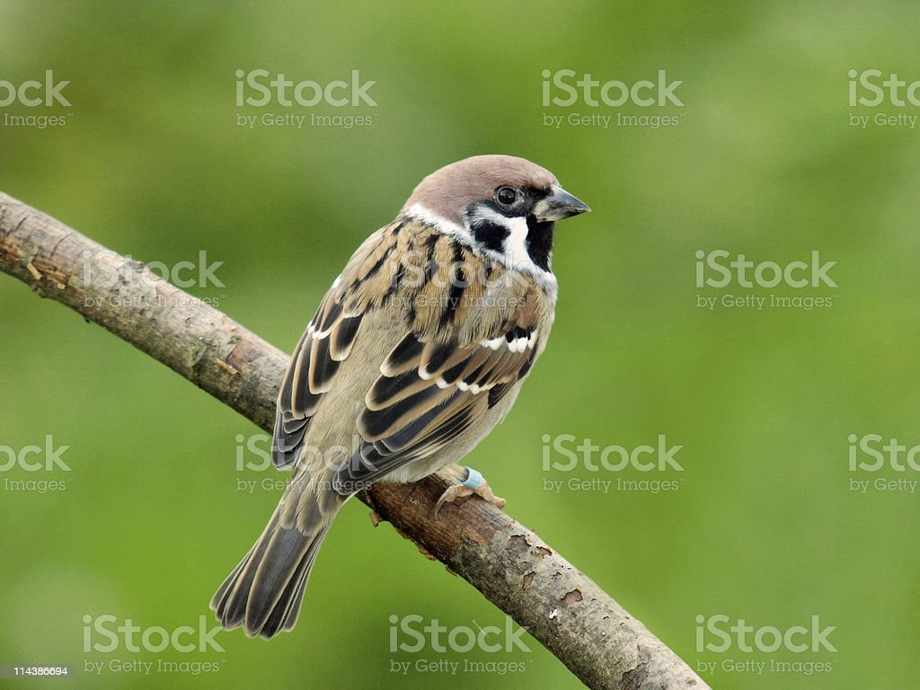 Tree Sparrow (Passer montanus) royalty-free stock photo