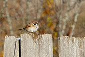 Tree Sparrow sitting on the fence. Autumn