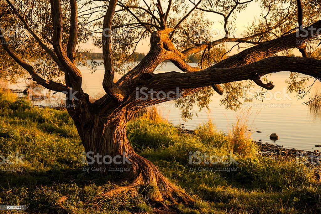 Tree spreading its branches from bank of Daugava river stock photo