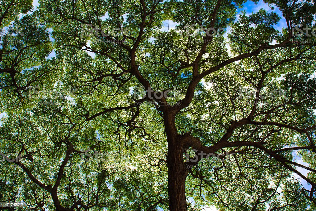 Tree spreads under blue sky royalty-free stock photo