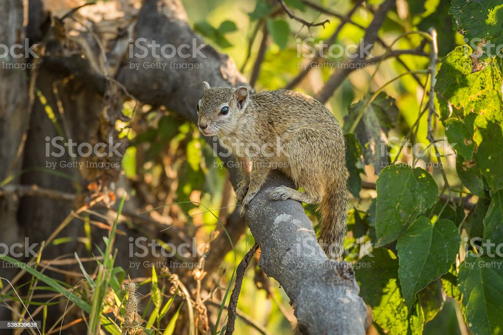 Tree squirrel on broken branch facing camera stock photo