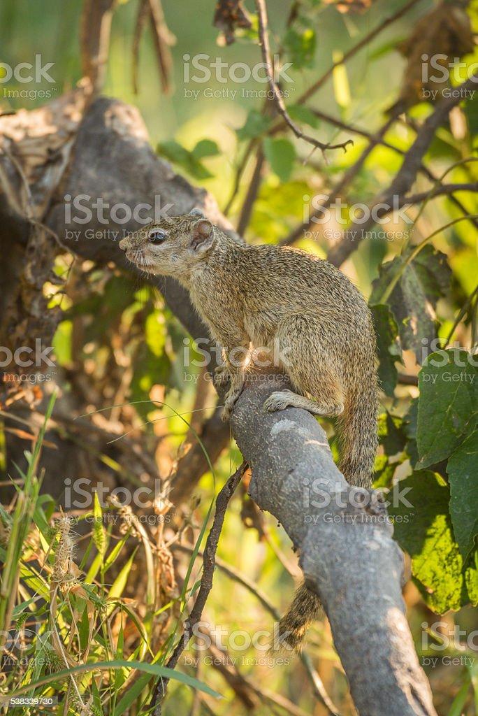 Tree squirrel on broken branch facing left stock photo