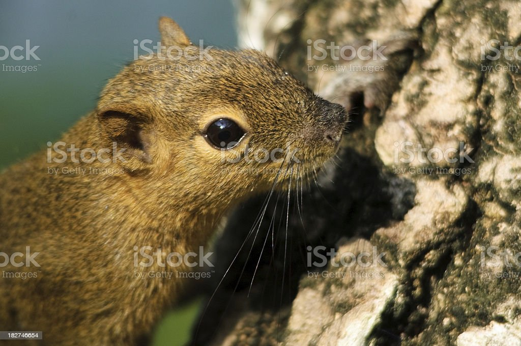 Tree squirrel royalty-free stock photo