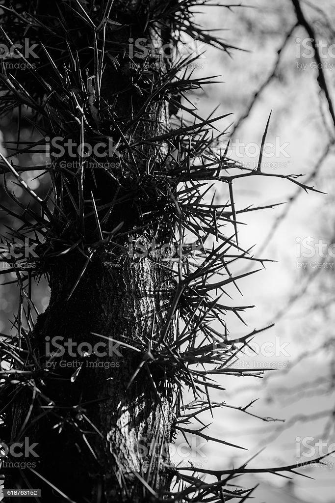 Tree Stem With Big Prickles Gleditsia stock photo