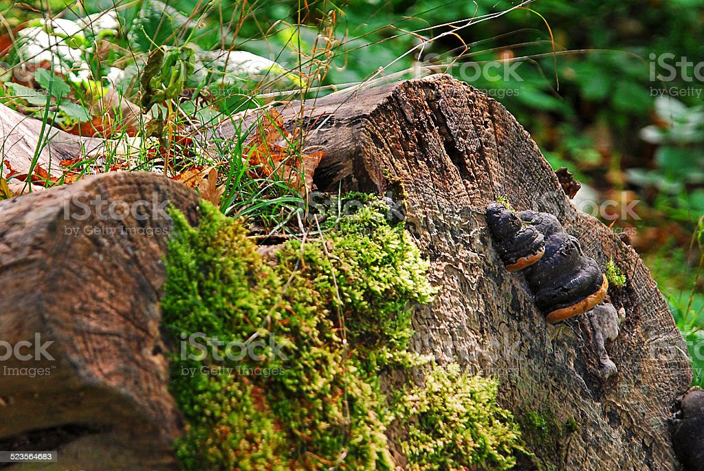 Tree stump in a forest stock photo